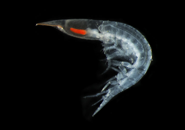 <em>Shrimp</em> © Emmanuel Reynaud, UCD, Ireland