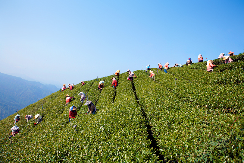 <em>Tea leaf pickers in Alishan, Taiwan</em>, Dan Hallman