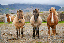 THUMB1110309790-Eric-Brown-e_brown_posing-horses_iceland